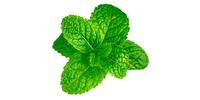 Minze (grün, frisch)